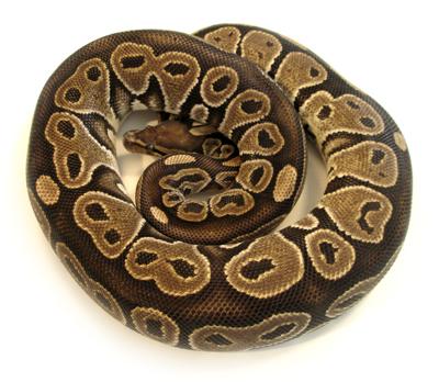 Ebony ball python